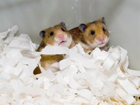 Hamsters in Bedding