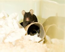 Mouse with bedding and play tube