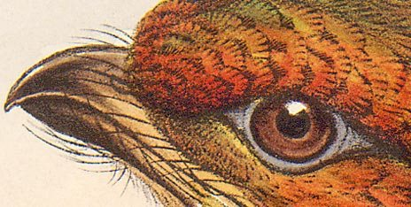 pic14 - Detail of a colour illustration of a bird, Pharomachrus auriceps, from the Porter Collection