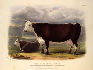 Illustration of a Hereford cow and calf