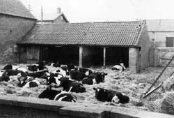 Photograph of cattle in the crewyard at Corner Farm, Laxton