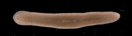 A Schmidtea mediterranea planarian in laboratory culture