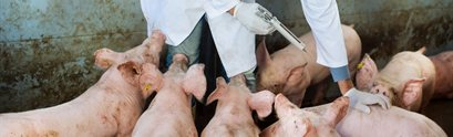 Pigs receiving antibiotics