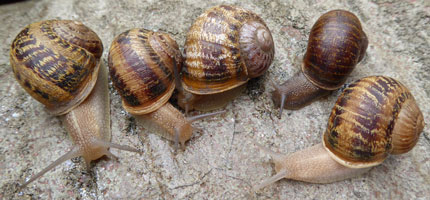 Rare 'lefty' snail needs your vote for project to sequence genomes of 25 species