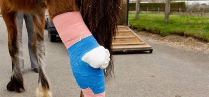 Gene therapy can cure lameness in horses, research finds
