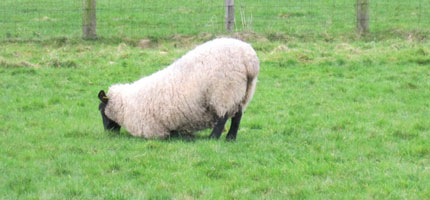 New smart sensor to help farmers spot lameness in sheep