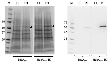 Secretion of recombinant BabA547 and BabA547-6k into the perplasmic space