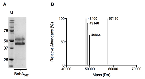 (A) Coomassie stained SDS-PAGE geln and (B) Molecular mass profile of purified BabA547-6k