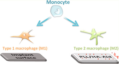 Monocytes split into macrophages M I (implant surface) and M II (PLL/HA-ald)