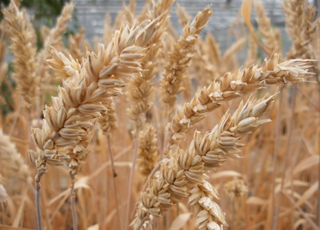 Cereal Crops The University Of Nottingham