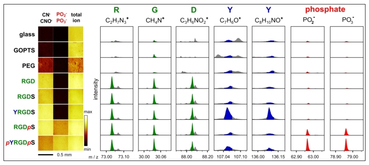 ToF-SIMS data of enzyme responsive peptide surfaces. Various phosphorylated and non-phosphorylated peptide surfaces were analysed by ToF-SIMS. ToF-SIMS images show a homogeneous distribution of mass fragments associated with peptides (CN- and CNO-) and phosphates. Mass fragments for each amino acid (except serine) and the phosphate groups were identified and shown to be present on the appropriate peptide surface.