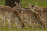New partnership to promote Britain's wild venison