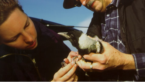 Australian magpie (Gymnorhina tibicen) fledgling being sampled for blood