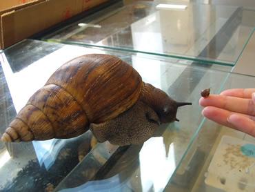 Achatina achatina snail and baby