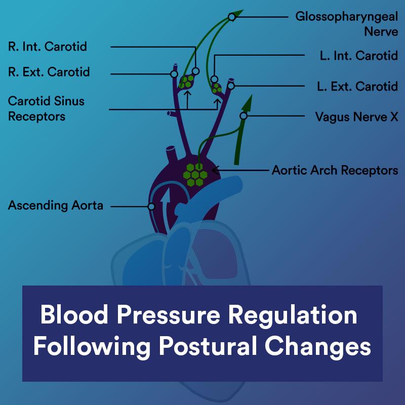 Blood Pressure Regulation Following Postural Changes