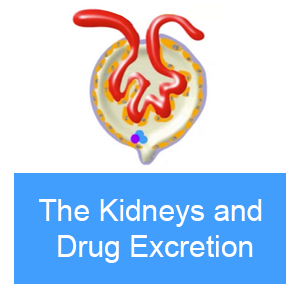 The Kidneys and Drug Excretion