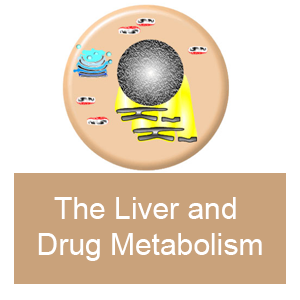 The Liver and drug metabolism
